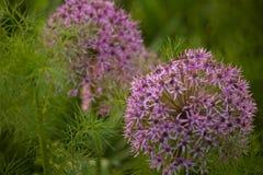 Blom- bakgrund med den violetta dekorativa löken Royaltyfri Bild