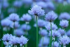 Blom- bakgrund med den violetta dekorativa löken Royaltyfria Foton