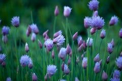 Blom- bakgrund med den violetta dekorativa löken Royaltyfri Foto