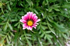 Blom- bakgrund med en härlig rosa färgblomma på en bakgrund av gröna sidor Royaltyfria Bilder