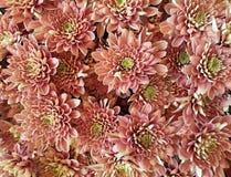 Blom- bakgrund med gränsen - rosa krysantemum Royaltyfri Fotografi