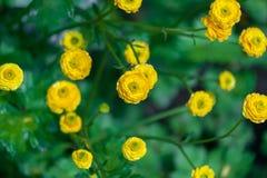 Blom- bakgrund med gula dekorativa blommor Trädgårds- smörblomma Royaltyfri Bild