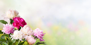 Blom- bakgrund med pioner Royaltyfri Foto