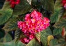 Blom- bakgrund med rosa färger blommar begonior Royaltyfria Bilder