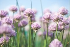 Blom- bakgrund med violetta blommor av den dekorativa löken Royaltyfri Foto