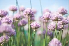 Blom- bakgrund med violetta blommor av den dekorativa löken Royaltyfri Bild