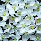 Blom- bakgrund med vita blommor på svart bakgrund Royaltyfri Bild