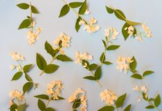 Blom- bakgrund med vita jasminblommor Royaltyfri Bild