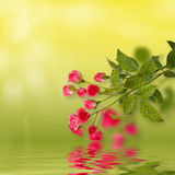 Blom- bakgrund: rosor som isoleras över den gröna bakgrunden tillsammans med reflexioner i krabbt vatten, ytbehandlar Arkivfoton