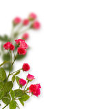 Blom- bakgrund: rosor som isoleras över vit bakgrund Royaltyfri Fotografi