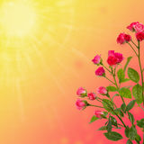 Blom- bakgrund, rosor som isoleras på orange bakgrund kopiera avstånd Royaltyfria Foton