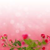 Blom- bakgrund: rosor som isoleras på röd bakgrund Royaltyfri Fotografi
