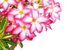 Blom- bakgrund. Slut upp av den tropiska blommarosa färgadeniumen Arkivbild
