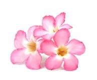 Blom- bakgrund. Slut upp av den tropiska blommarosa färgadeniumen Arkivbilder