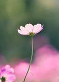 Blom- bakgrunder för kosmos Fotografering för Bildbyråer