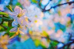 Blom- bakgrundsblommor av att blomstra äppleträdet Arkivbild