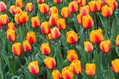 Blom- bakgrundstulpan arkivfoto