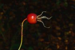 Blom- begrepp för höst på en oskarp mörk bakgrund Royaltyfri Fotografi
