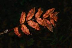 Blom- begrepp för höst på en oskarp mörk bakgrund Royaltyfri Bild
