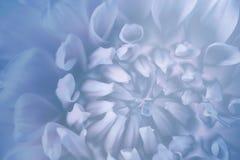 Blom- blått-turkos-vit bakgrund Bakgrund av en dahliablommanärbild Makro royaltyfri bild
