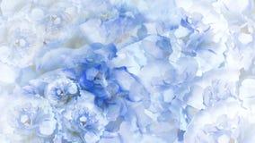Blom- blåvit bakgrund Pioner för blåvita blommor blom- collage vita tulpan för blomma för bakgrundssammansättningsconvolvulus Arkivbild