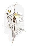 blom- blommaillustration för blomma calla Arkivfoton