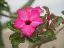 Blom- blomningrosa färger Fotografering för Bildbyråer