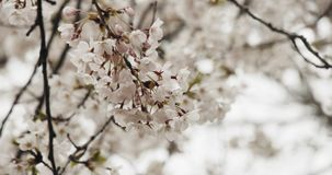 blom blomstrar Cherryet full arkivfilmer