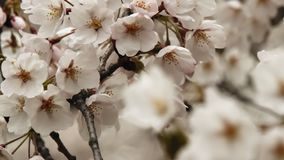 blom blomstrar Cherryet full stock video