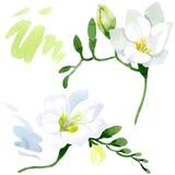 Blom- botaniska blommor f?r vit freesia Upps?ttning f?r vattenf?rgbakgrundsillustration Isolerad freesiaillustrationbest?ndsdel royaltyfri illustrationer