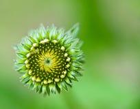 Blom för öppningskotteblomma Royaltyfria Bilder