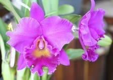 Blom för blommor för DendrobiumAphyllum orkidér i vår Arkivfoto