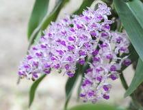 Blom för blommor för Rhynchostylis giganteaorkidér i vår Arkivbilder