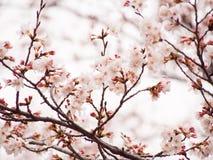 Blom för filial Yoshino för körsbärsrött träd oavkortad i himmelbakgrunden Arkivbild