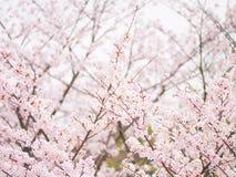 Blom för filial Yoshino för körsbärsrött träd oavkortad i himmelbakgrunden Fotografering för Bildbyråer