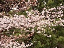 Blom för filialer Yoshino för körsbärsrött träd oavkortad Royaltyfria Bilder