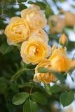Blom för gula rosor Arkivfoton