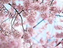 Blom för körsbärsröd blomning Royaltyfri Fotografi