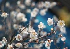 Blom för körsbärsröd blomning Arkivfoto