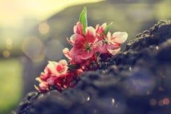 Blom för körsbärsrött träd Royaltyfri Fotografi
