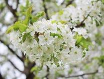 Blom för körsbärsrött träd, i sping royaltyfri illustrationer