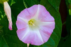 Blom för morgonhärlighet Arkivfoto