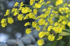 Blom för Oncidium orkidéblommor i vår Royaltyfri Bild