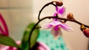 blom för orkidé 4K, timelaps arkivfilmer