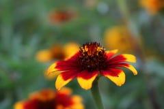 Blom för persisk matta för Zinnia Arkivbilder