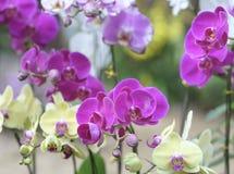 Blom för Phalaenopsisorkidéblommor i vår Royaltyfri Bild