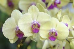 Blom för Phalaenopsisorkidéblommor i vår Royaltyfria Foton