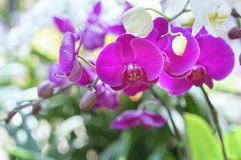 Blom för Phalaenopsisorkidéblommor i vår Royaltyfria Bilder