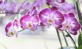 Blom för Phalaenopsisorkidéblommor i vår Arkivbilder