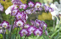 Blom för Phalaenopsisorkidéblommor i vår Royaltyfri Fotografi